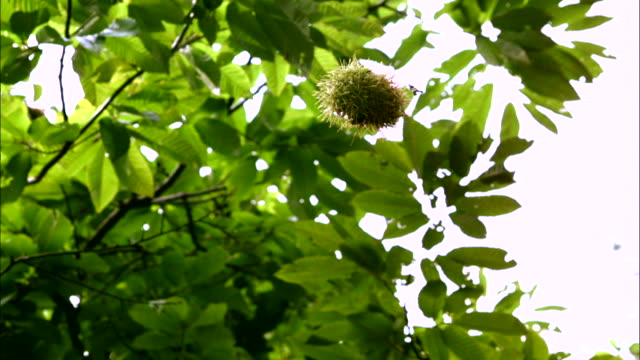 a chestnut bur falling from the tree - nutshell stock videos & royalty-free footage