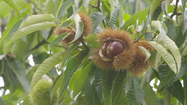 chestnut bur / yangju-si, gyeonggi-do, south korea - swaying stock videos & royalty-free footage