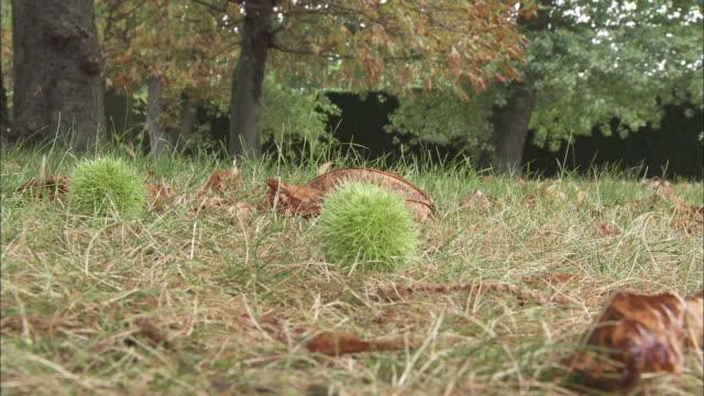 chestnut falling - marrone video stock e b–roll