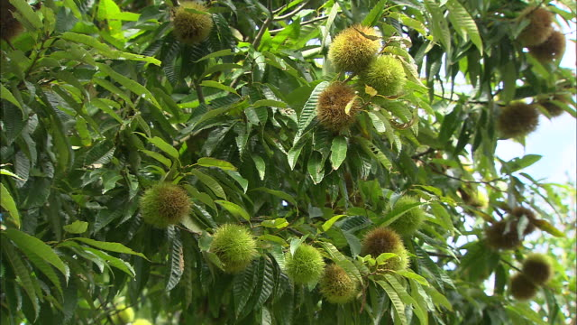 Chestnut fruits on tree