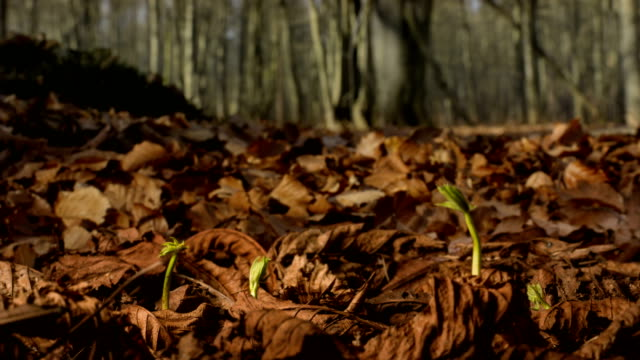 vídeos de stock, filmes e b-roll de chestnut grows in the forest (timelapse) - planta nova