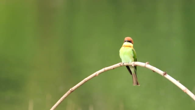 chestnut headed bee eater - perching stock videos & royalty-free footage