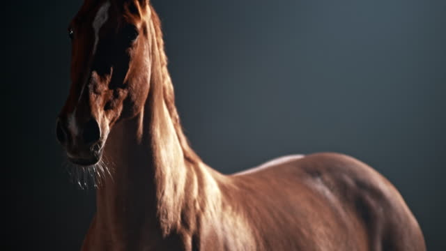 slo mo chestnut horse on a black background - horse stock videos & royalty-free footage