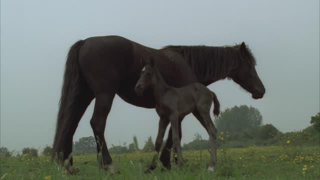 vídeos y material grabado en eventos de stock de ms, chestnut mare with newborn foal on meadow - mamífero