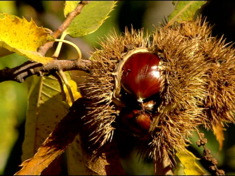 Chestnut (Castanea sativa) on tree, cu, Andalucia, Spain