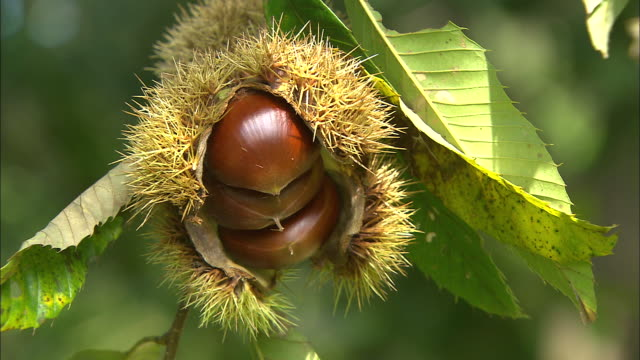 Chestnut seed case containing mature fruits on tree