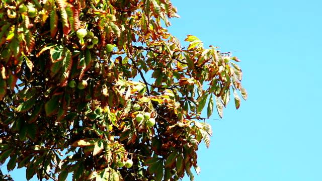 castagno in autunno - marrone video stock e b–roll