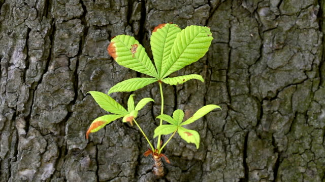 chestnut tree with fresh twig - twig stock videos & royalty-free footage