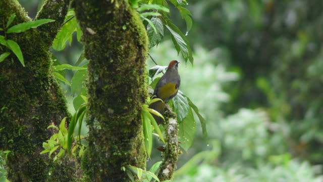 chestnut-crowned laughingthrush bird - birdsong stock videos & royalty-free footage