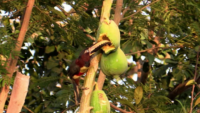 chestnut-eared aracari, eating papaya, flies off, slow motion,pantanal, brazil - feeding stock videos & royalty-free footage