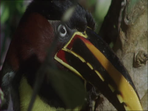 a chestnut-eared aracari eats a gourd. - gourd stock videos & royalty-free footage