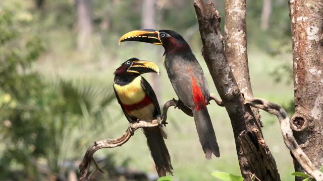 Chestnut-eared Aracari pair, Pantanal, Brazil