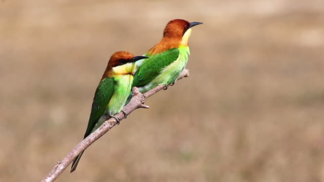 chestnut-headed bee-eater,bird - sideways glance stock videos & royalty-free footage