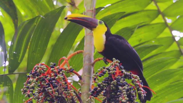 Chestnut-mandibled Toucan Looking Eating Berries