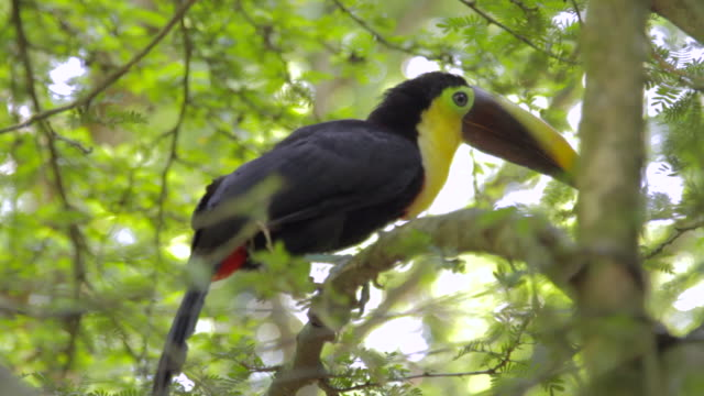 A Chestnut-mandibled Toucan on a Branch