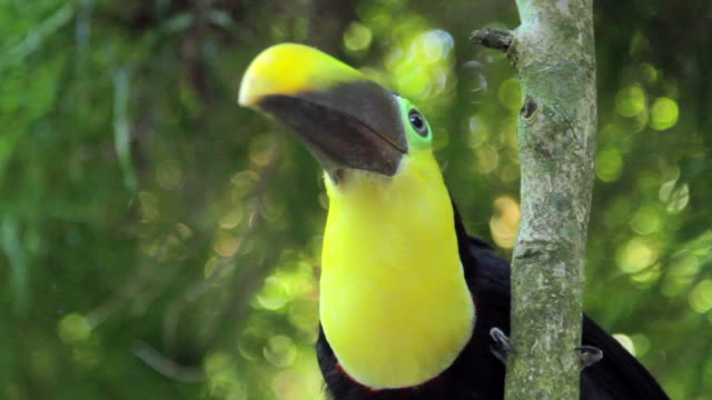 Chestnut-mandibled Toucan Perching in a Tree