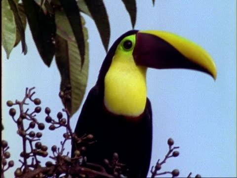 Chestnut-mandibled Toucan, CU toucan eats virola fruit on branch, Panama
