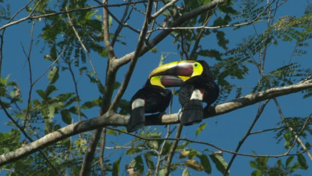 chestnut-mandibled toucan - limb body part stock videos & royalty-free footage