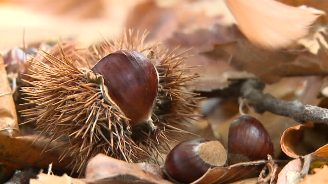 SLOW MOTION HD: Castagne in autunno