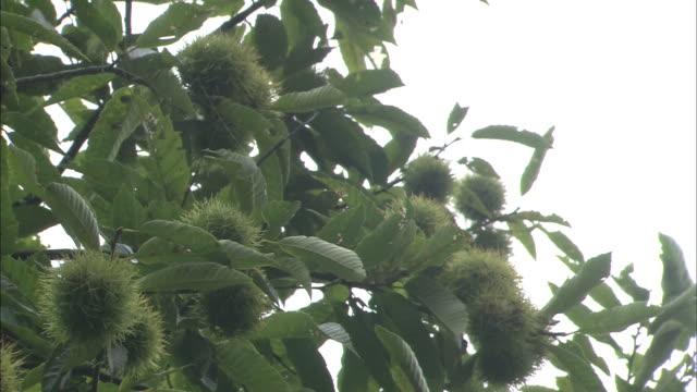 chestnuts on tree - marrone video stock e b–roll