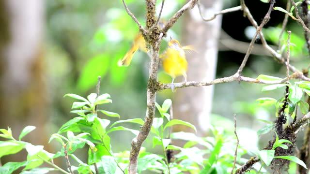 Chestnut-tailed Bird