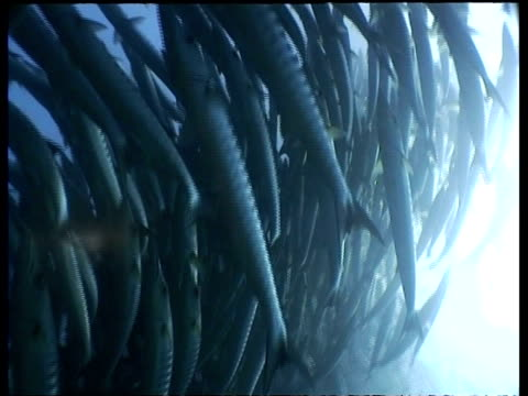 cu chevron barracuda school circling past camera in sunlit water, low angle, sipadan, borneo, malaysia - aquatic organism stock videos & royalty-free footage