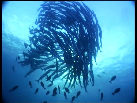wa chevron barracuda school spiralling and circling to surface, low angle, sipadan, borneo, malaysia - fischschwarm stock-videos und b-roll-filmmaterial