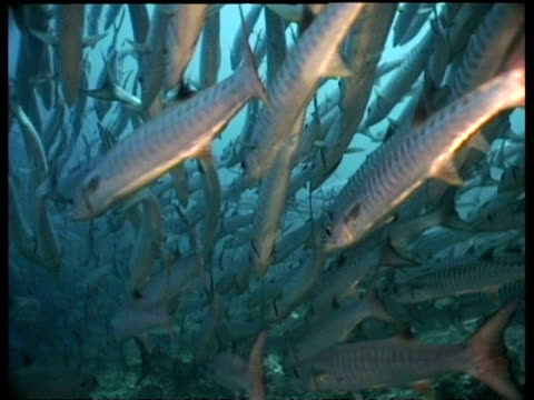 chevron barracuda swimming away from camera over coral reef in column formation, sipadan, borneo, malaysia - aquatic organism stock videos & royalty-free footage