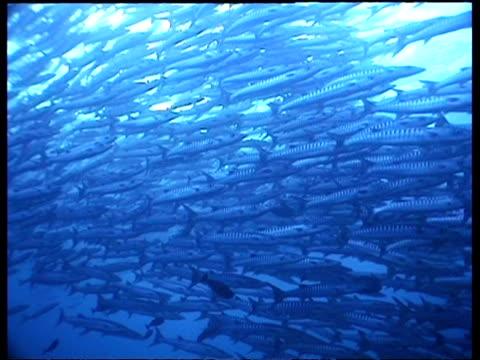 wa chevron barracuda swimming in sunlit shallows, low angle, sipadan, borneo, malaysia - aquatic organism stock videos & royalty-free footage