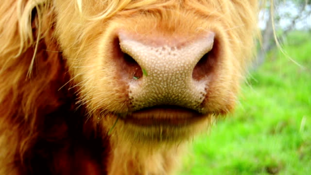 stockvideo's en b-roll-footage met chewing bull - close up - dierenhaar