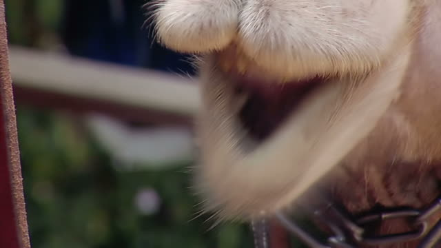 chewing camel - camel stock videos and b-roll footage