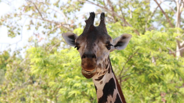 chewing giraffe in close range - giraffe stock videos & royalty-free footage