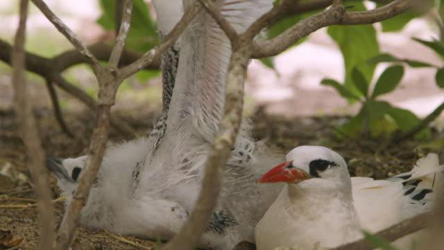 vidéos et rushes de a chic spreading its wings, lady elliot island - extreme close up