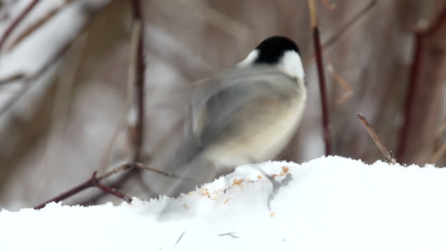"""""""chicadees, sparrow and cardinal"""" - sparrow stock videos & royalty-free footage"""