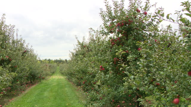 chicago, il, u.s. - a corn maze, pumpkin patch and an apple orchard at all seasons orchard on saturday, october 3, 2020. all seasons orchard in... - other stock videos & royalty-free footage