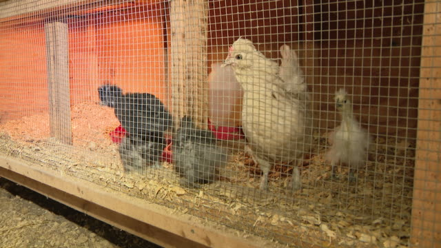 chicago, il, u.s. - a guinea fowl, goat and chickens at a petting zoo at all seasons orchard on saturday, october 3, 2020. all seasons orchard in... - chicken coop stock videos & royalty-free footage