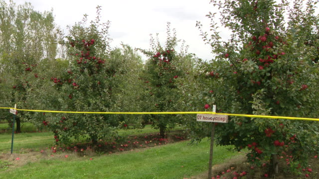 chicago, il, u.s. - apples grow in an orchard at all seasons orchard on saturday, october 3, 2020. all seasons orchard in woodstock has rows of... - other stock videos & royalty-free footage