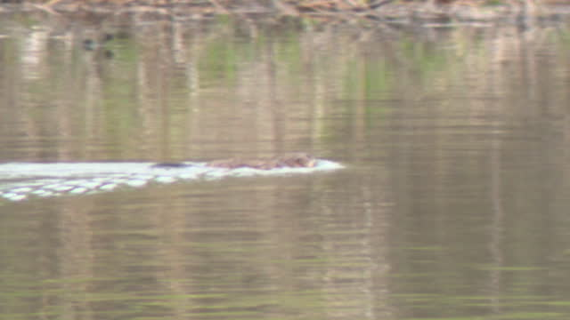 chicago, il, u.s., - beavers swim in a retention pond on sunday, april 11, 2021. a couple of underwater neighbors in glenview, illinois, are causing... - surfacing stock videos & royalty-free footage