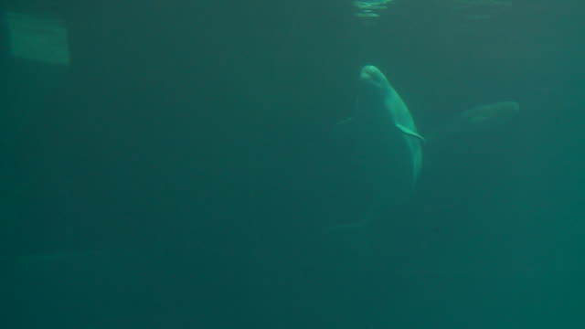 wgn chicago il us beluga whale calf swims with mother at shedd aquarium in chicago illinois unites states on tuesday july 16 2019 - shedd aquarium stock videos and b-roll footage