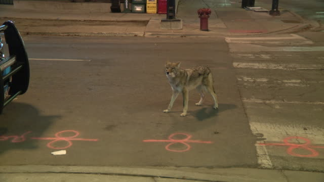 vídeos de stock, filmes e b-roll de chicago, il, u.s. - coyote limping in chicago's streeterville neighborhood, on friday, february 7, 2020. two people were injured in separate coyote... - north america