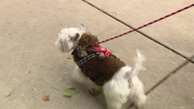 chicago, il, u.s. - cute dogs in halloween costumes at lake view halloween pupcrawl event on saturday, october 24, 2020. - 犬の綱点の映像素材/bロール