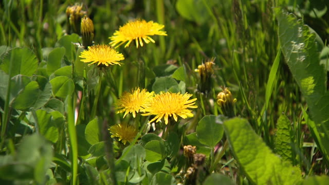 wgn chicago il us dandelion milkweed and rape in a field with geese on thursday may 7 2020 - dandelion stock videos & royalty-free footage