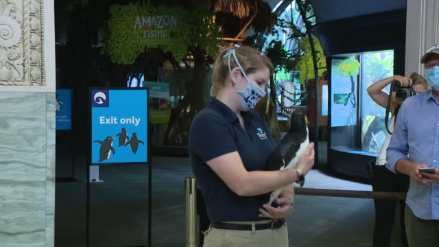 chicago, il, u.s. - employee presenting a penguin to the visitors at shedd aquarium as it reopens after closing due to covid-19 on friday, july 3,... - shedd aquarium stock videos & royalty-free footage