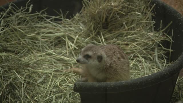 vídeos y material grabado en eventos de stock de chicago, il, u.s. - family of meerkats at lincoln park zoo, reopened after months of closure due to covid-19 pandemic. lincoln park zoo reopened to... - zoológico de lincoln park
