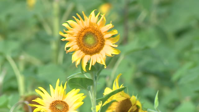 chicago, il, u.s. - field of sunflowers at pick-your-own farm on thursday, september 17, 2020. - flower head stock videos & royalty-free footage