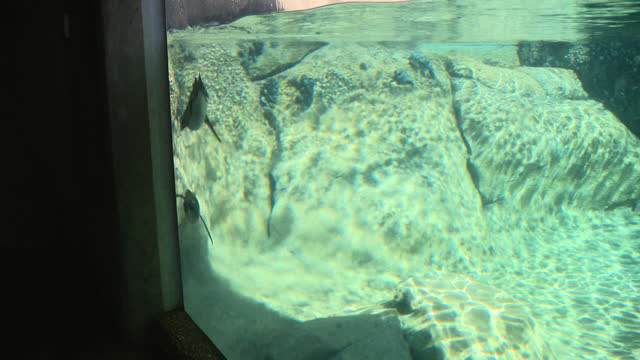 vídeos y material grabado en eventos de stock de chicago, il, u.s. - penguin swimming in reservoir at lincoln park zoo, reopened after months of closure due to covid-19 pandemic. lincoln park zoo... - zoológico de lincoln park
