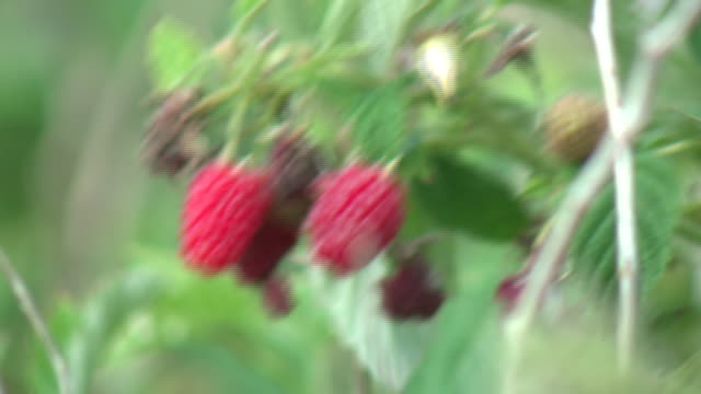 wgn chicago il us people picking raspberries at thompson strawberry farm on thursday september 17 2020 - brambleberry stock videos & royalty-free footage