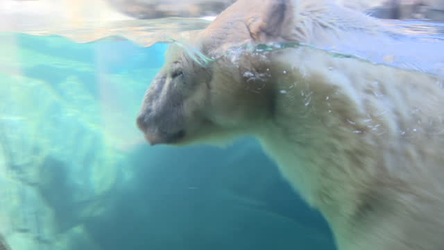 vídeos y material grabado en eventos de stock de chicago, il, u.s. - polar bear swimming in reservoir at lincoln park zoo, reopened after months of closure due to covid-19 pandemic. lincoln park zoo... - zoológico de lincoln park