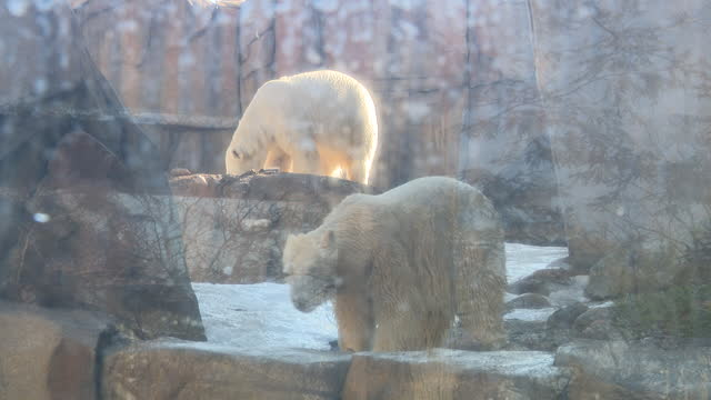 chicago, il, u.s. - polar bears seen through glass at lincoln park zoo, reopened after months of closure due to covid-19 pandemic. lincoln park zoo... - two animals stock videos & royalty-free footage