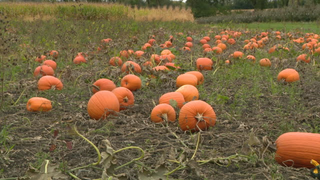 chicago, il, u.s. - pumpkins grow in a pumpkin patch at all seasons orchard on saturday, october 3, 2020. all seasons orchard in woodstock has rows... - other stock videos & royalty-free footage